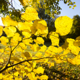 Glühende Blätter