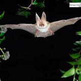 Graues Langohr Fledermaus